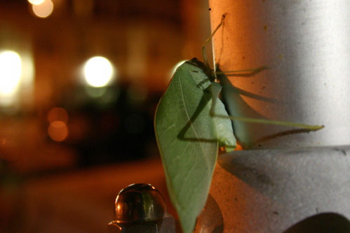 Leaf Bug Thingy